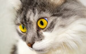 cats face with yellow eyes