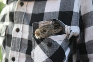 baby rabbit in a shirt pocket