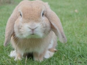 lop eared brown rabbit
