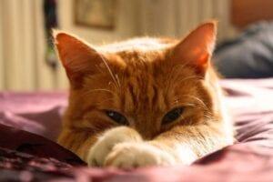 ginger cats face looking at camera