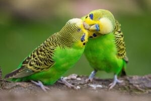 two green budgeriegars